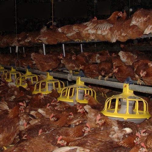 Le Dalaï Lama condamne l'élevage des poules